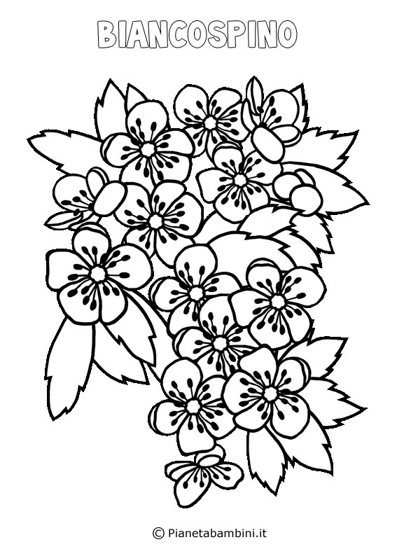 Fiore biancospino da colorare