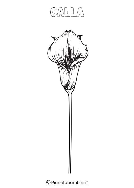 Fiore Calla da colorare