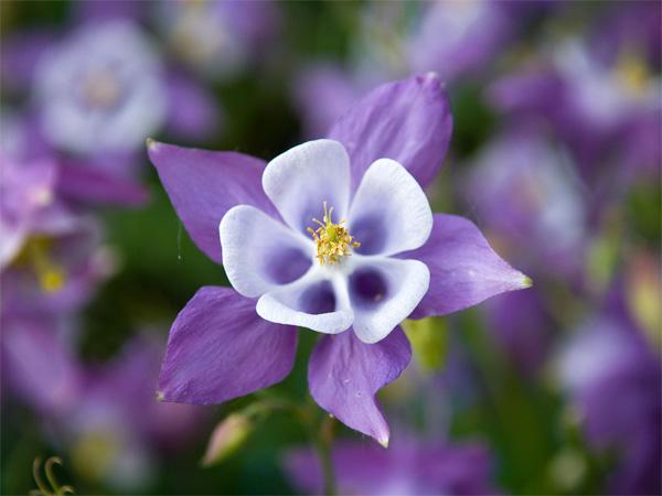 Immagine del fiore di primavera Aquilegia