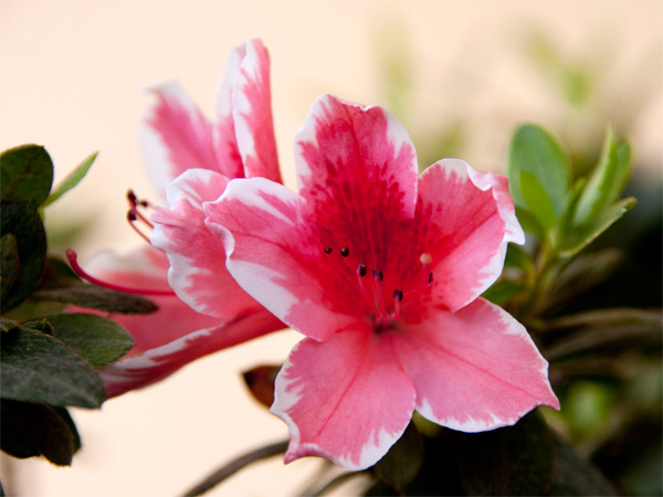 Immagine del fiore di primavera Azalea