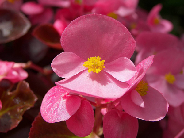 Immagine del fiore di primavera Begonia