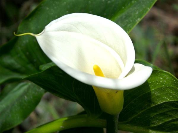Immagine del fiore di primavera Calla