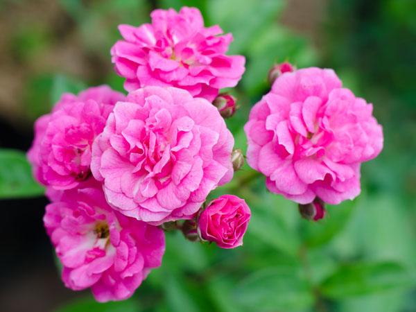 Immagine del fiore di primavera Camelia