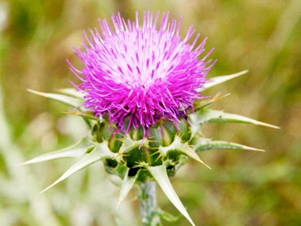 Immagine del fiore di primavera Cardo