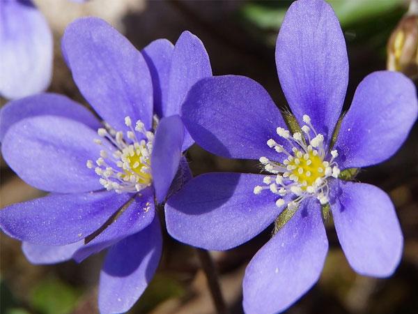Nomi Fiori Viola.Nomi E Immagini Di Fiori Di Primavera 35 Foto Pianetabambini It