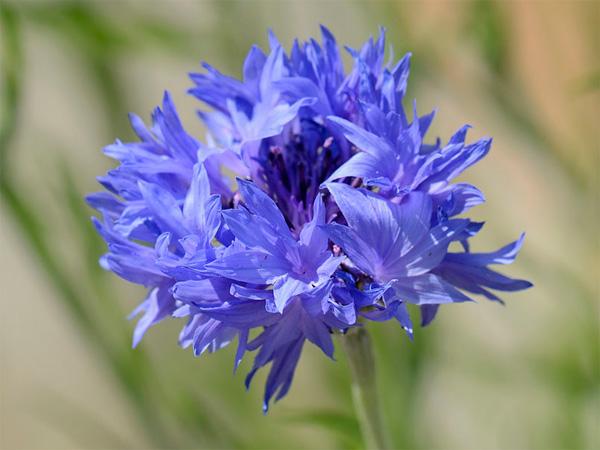 Immagine del fiore di primavera Fiordaliso