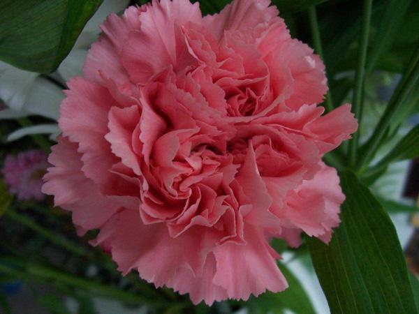 Immagine del fiore di primavera garofano
