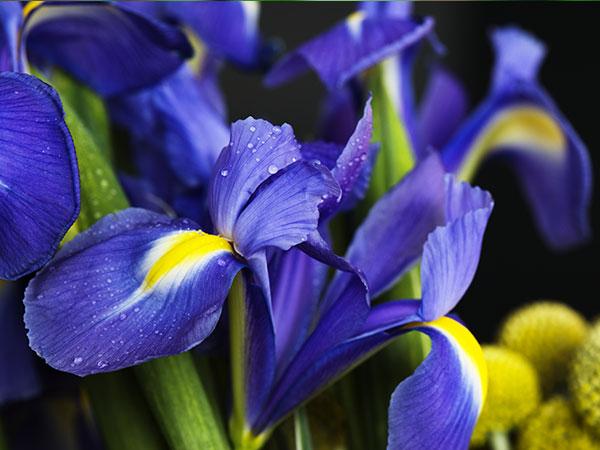 Immagine del fiore di primavera Iris