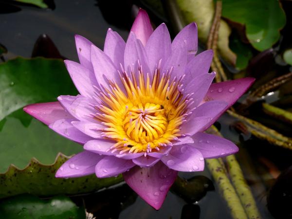 Immagine del fiore di primavera Loto