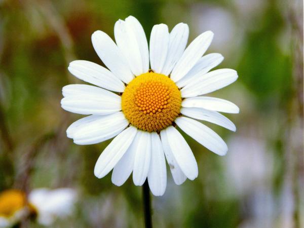 Immagine del fiore di primavera Margherita