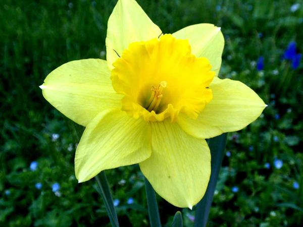 Immagine del fiore di primavera Narciso