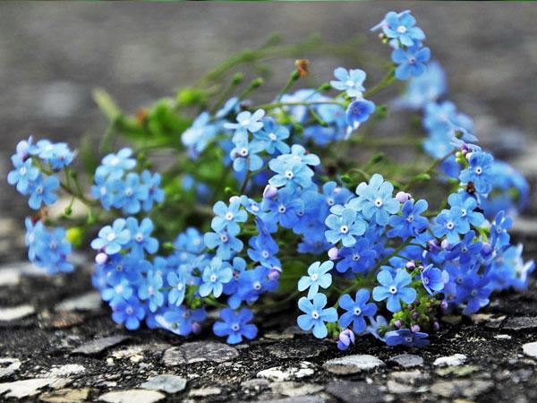 Immagine del fiore di primavera Non ti scordar di me