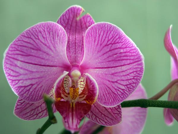 Immagine del fiore di primavera Orchidea