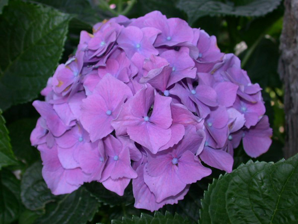 Immagine del fiore di primavera Ortensia