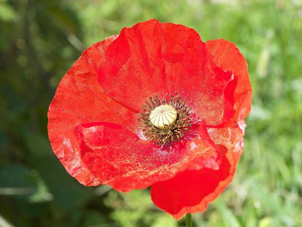 Immagine del fiore di primavera Papavero