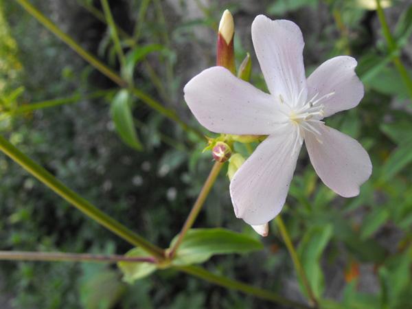 Immagine del fiore di primavera Saponaria