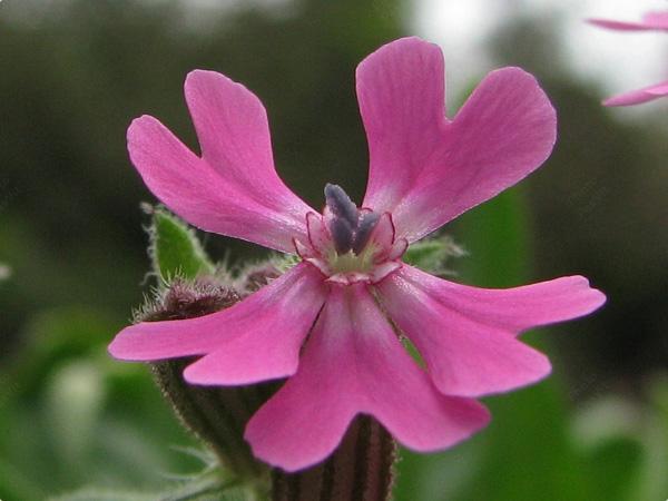 Immagine del fiore di primavera Silene
