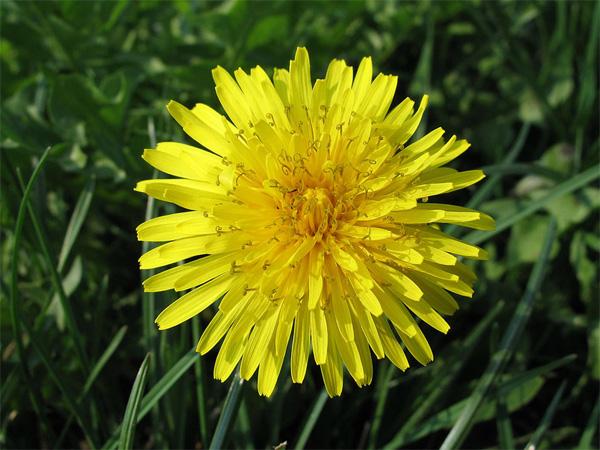 Immagine del fiore di primavera Tarassaco