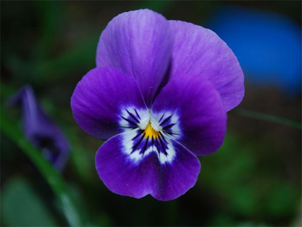 Immagine del fiore di primavera Viola