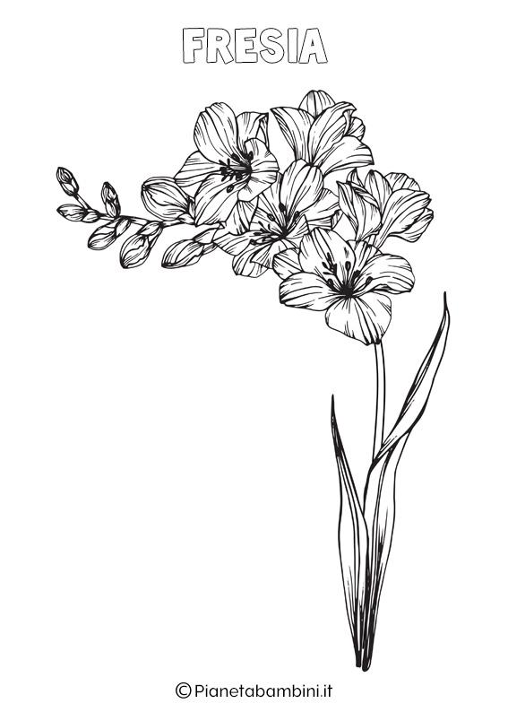 Fiore fresia da colorare