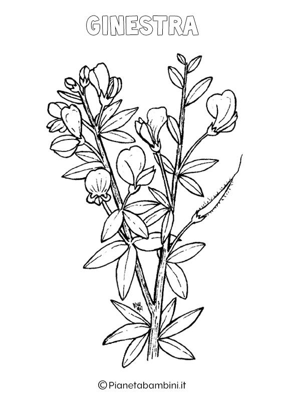 Fiore ginestra da colorare