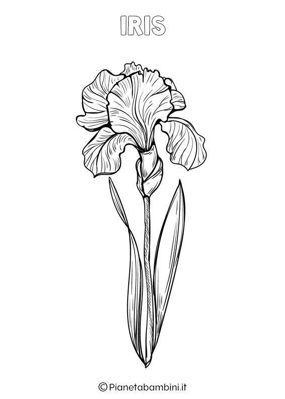 Fiore Iris da colorare