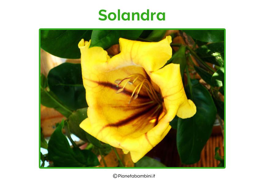 Solandra