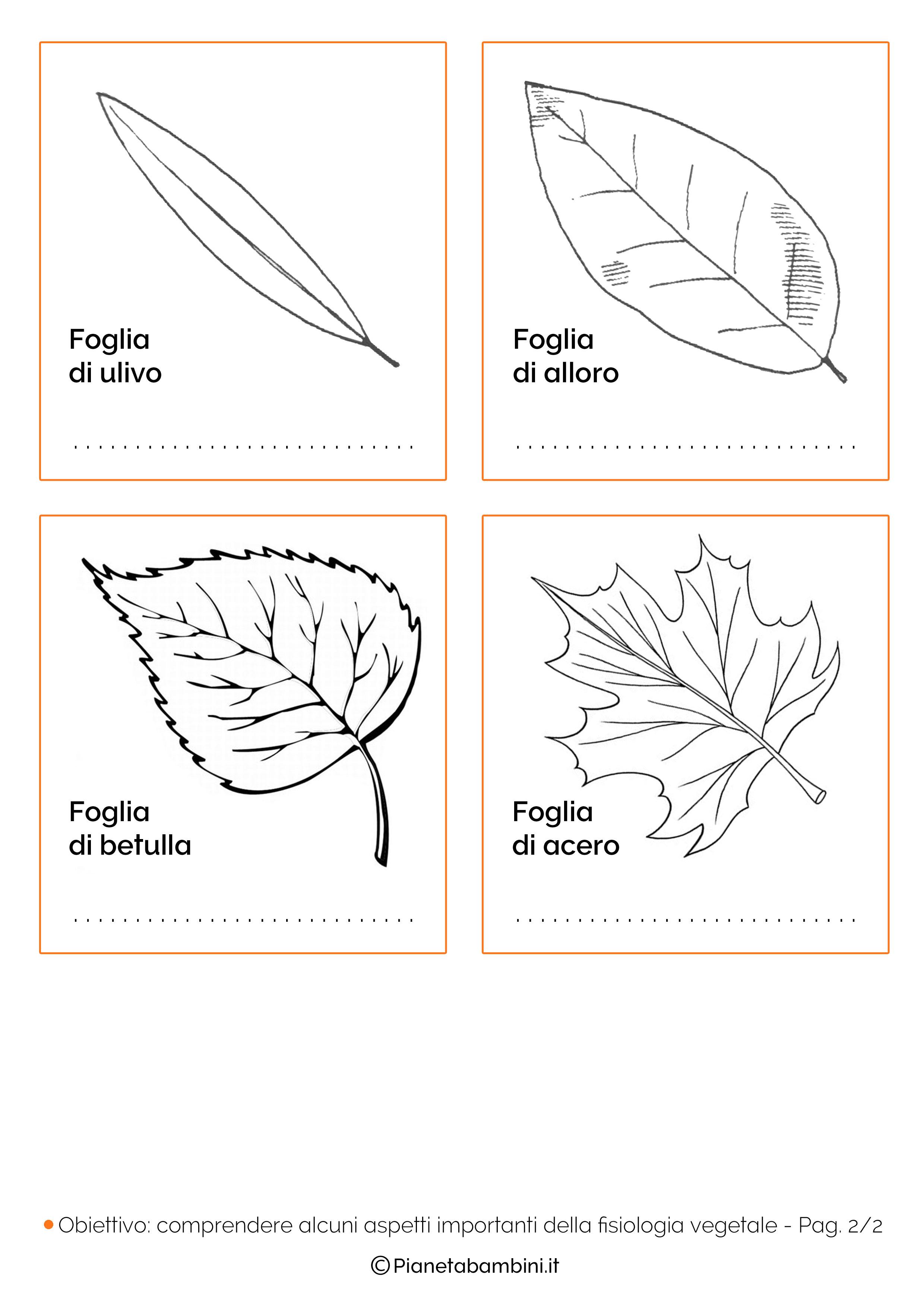 Classificazione delle foglie schede didattiche da for Foto di alberi da colorare