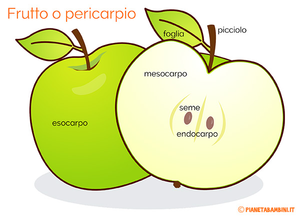 Schema sulle parti del frutto