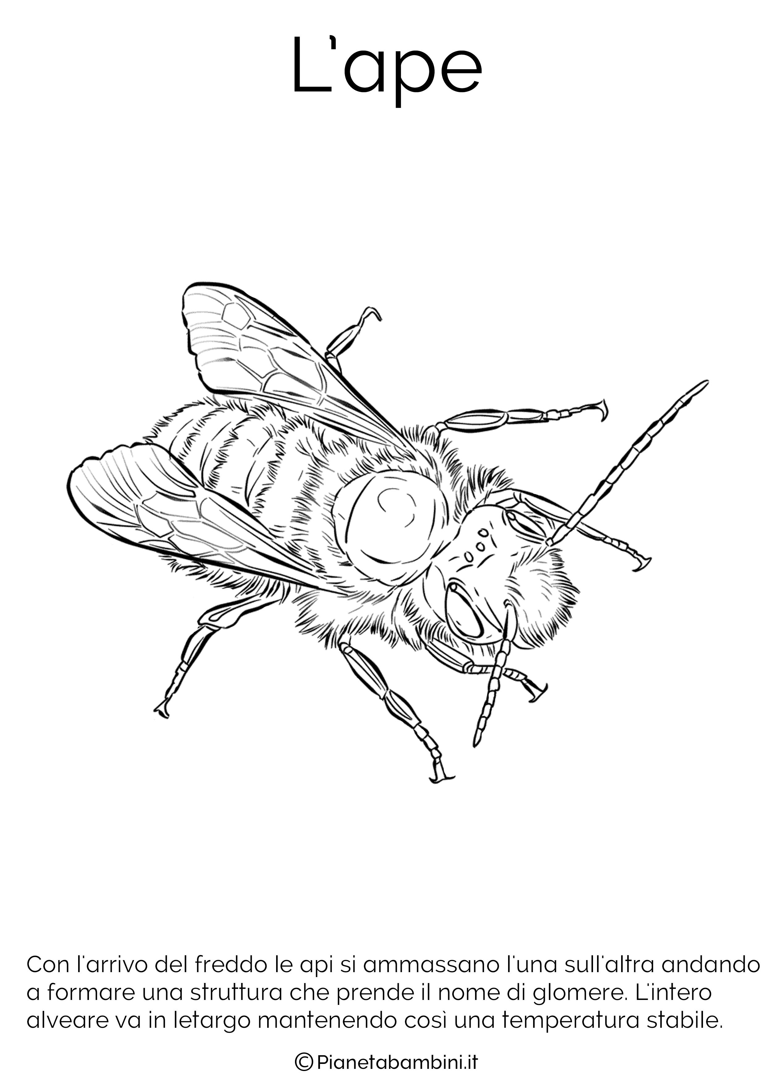 Disegno dell'ape in letargo da colorare