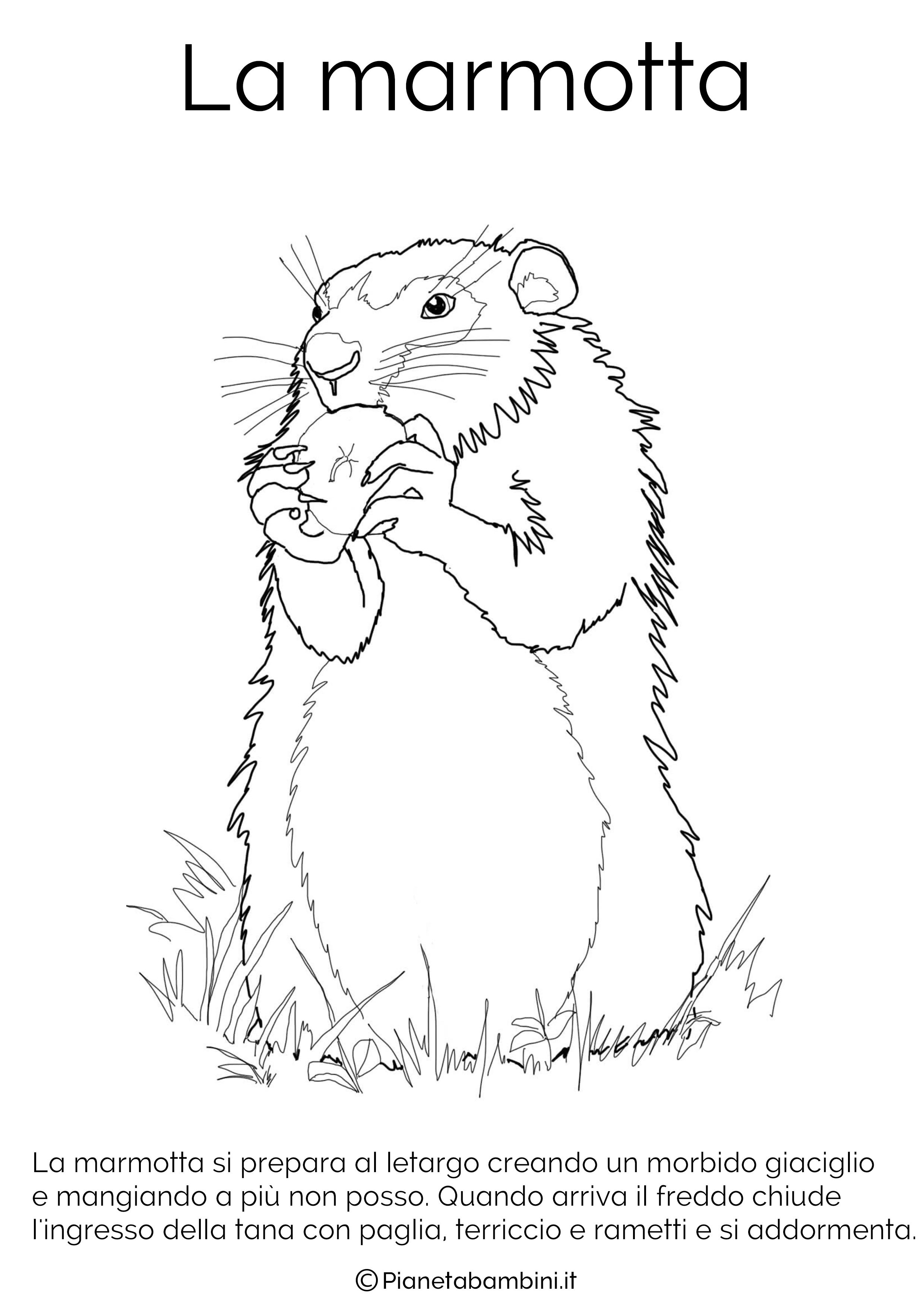 Disegno della marmotta in letargo da colorare