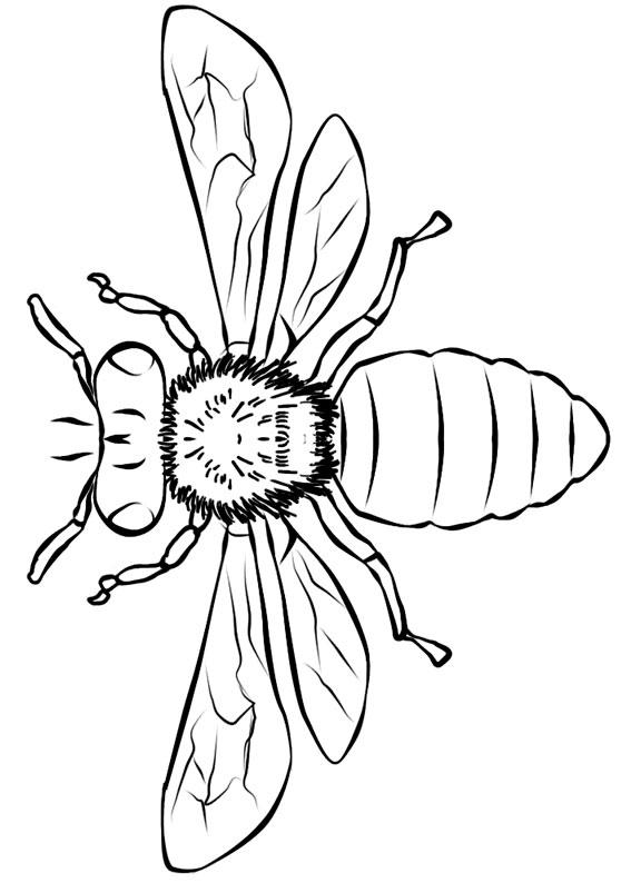 Disegno di ape 13
