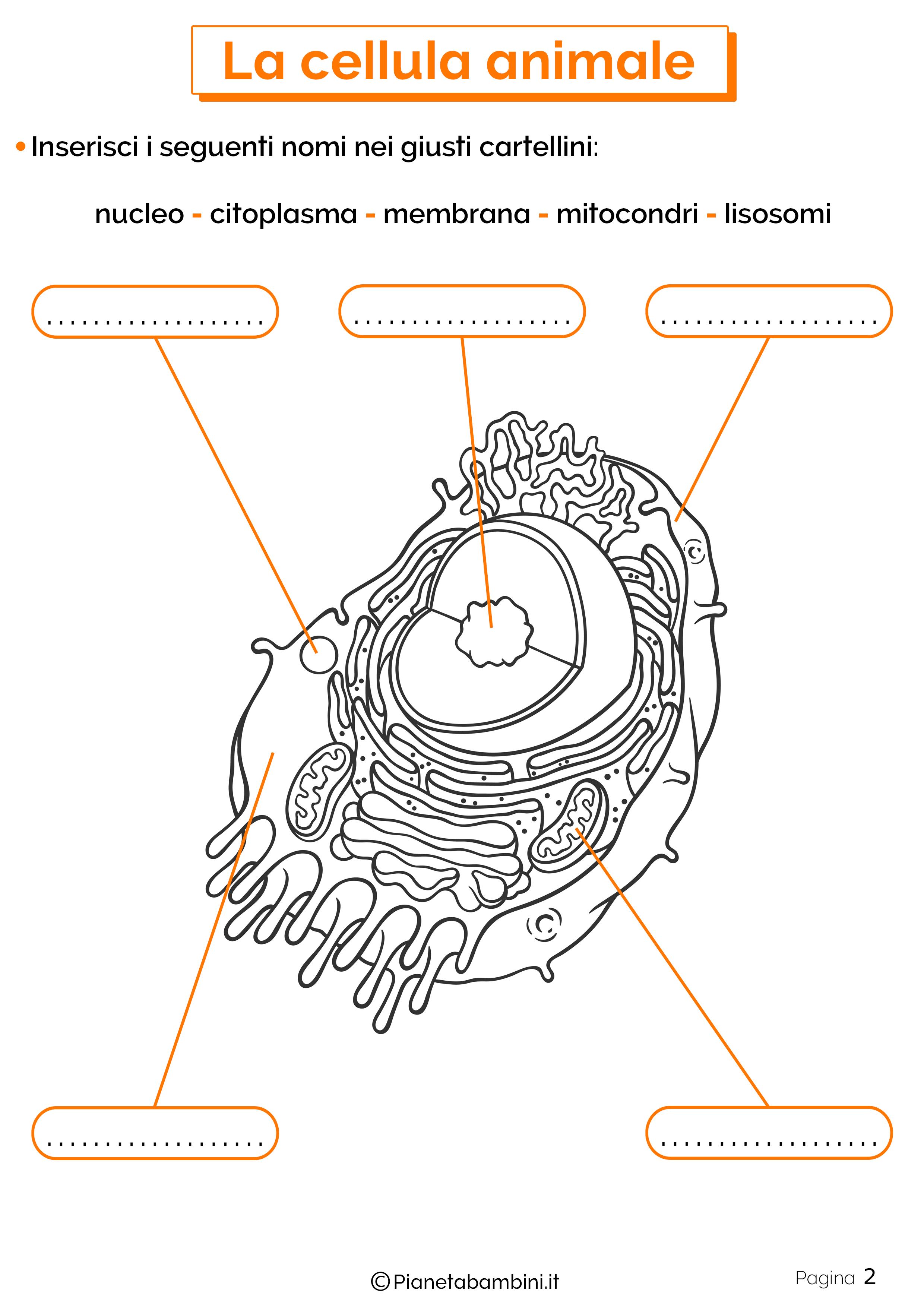 Esercizi sulla cellula animale 2