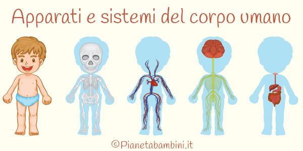Esercizi su apparati e sistemi del corpo umano