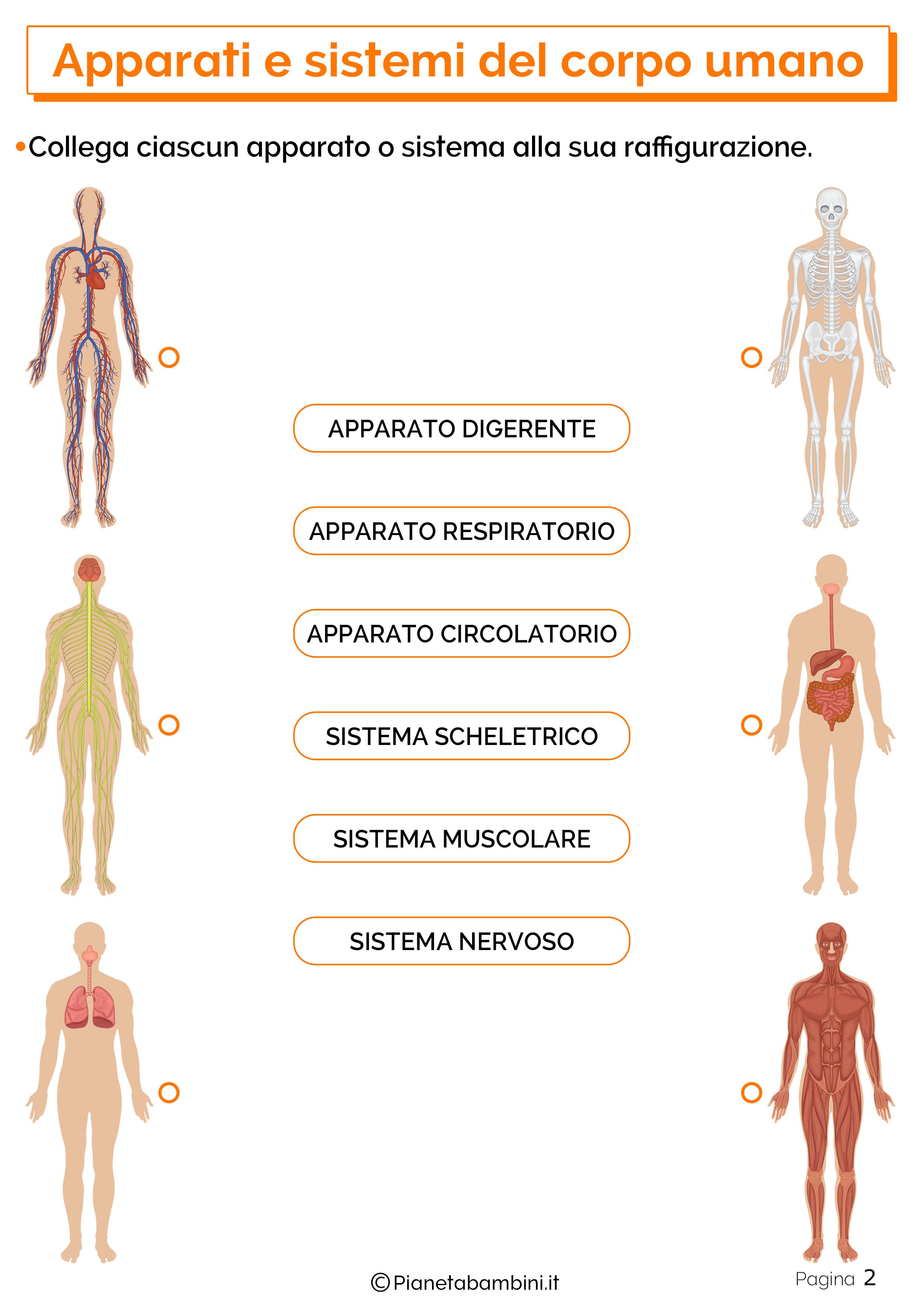 Esercizi su apparati e sistemi del corpo umano 2