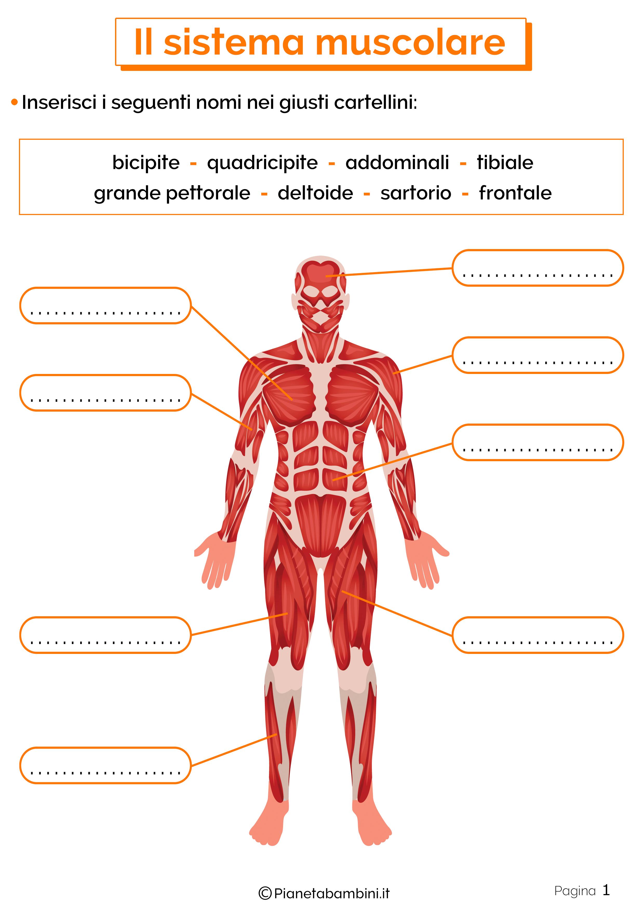 Esercizi sul sistema muscolare 1
