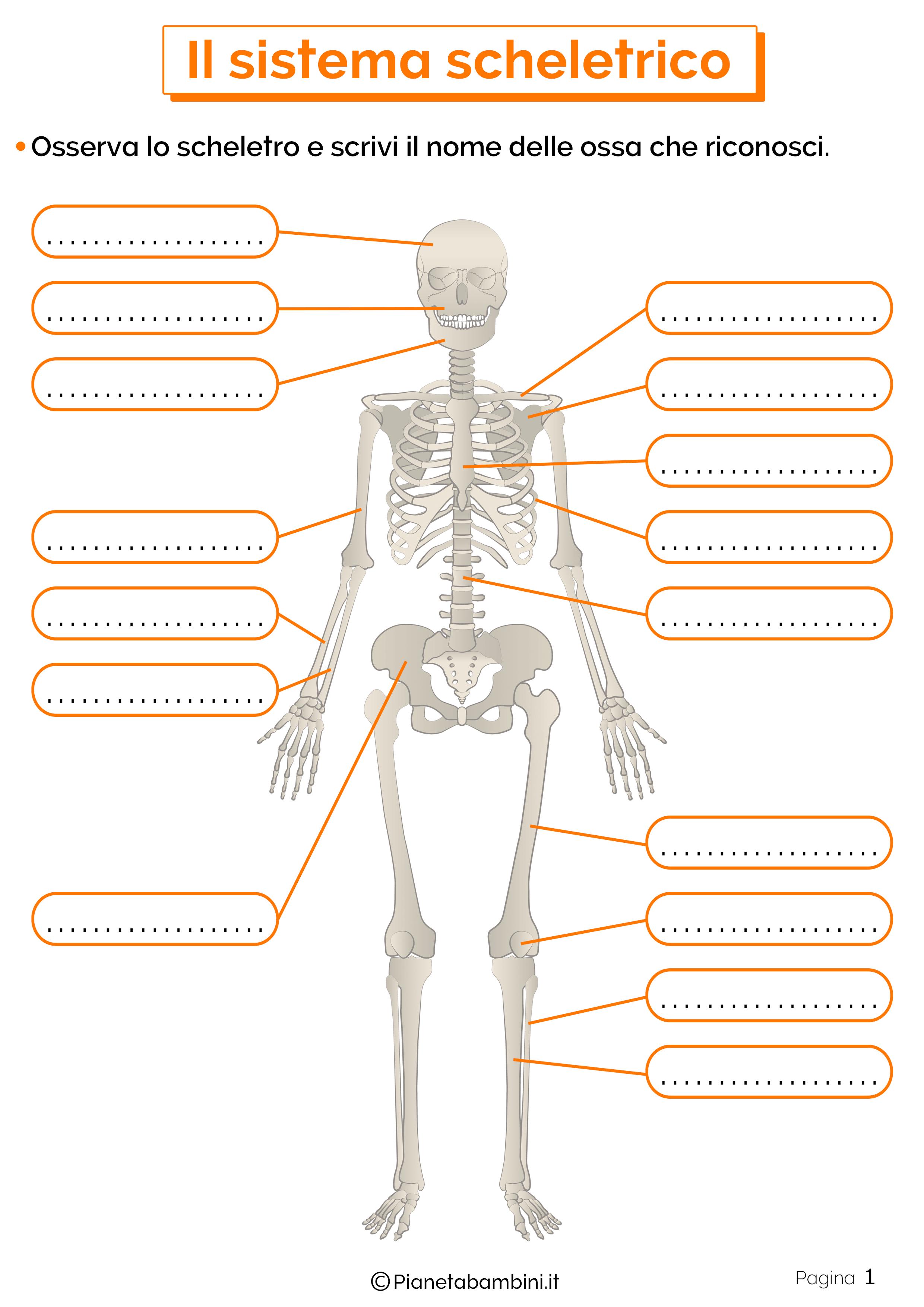 Esercizi sul sistema scheletrico 1
