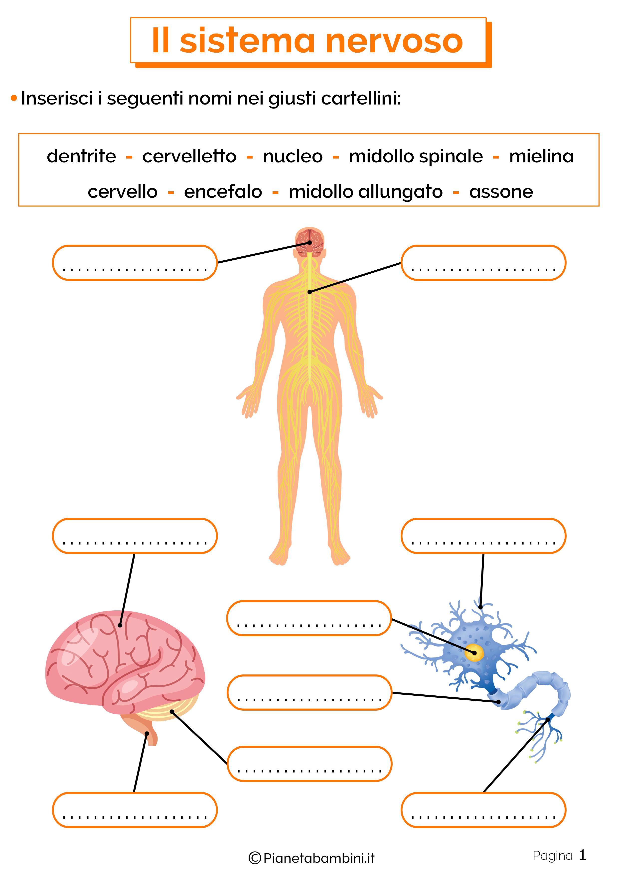 Esercizi sul sistema nervoso 1